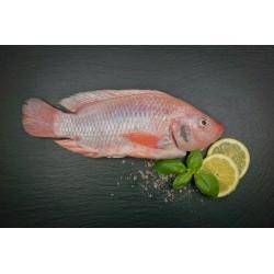 Sachsenbarsch ganzer Fisch küchenfertig (oreochromis niloticus)