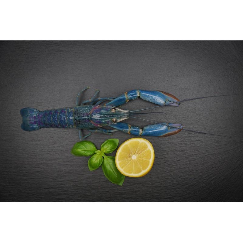 Süßwasser Hummer (Cherax Quadricarinatus)
